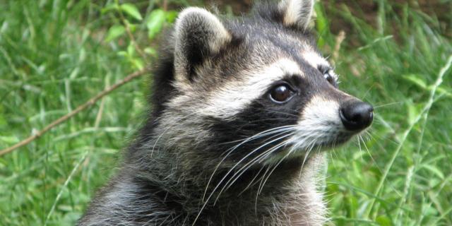 Raton Laveur Parc Animalier De Gramat
