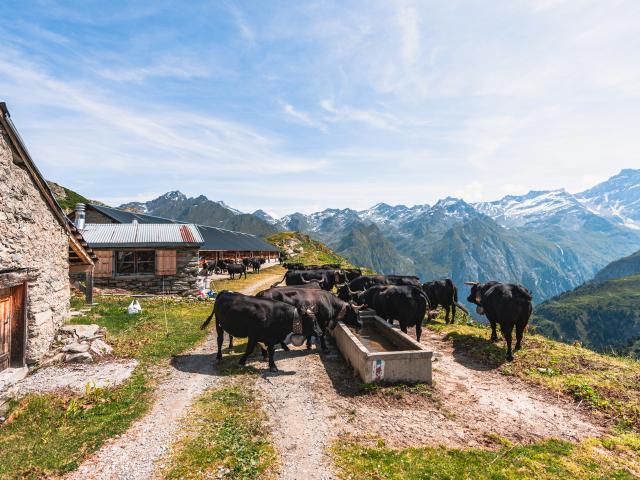 Vaches d'Hérens à l'Alpage de Sery