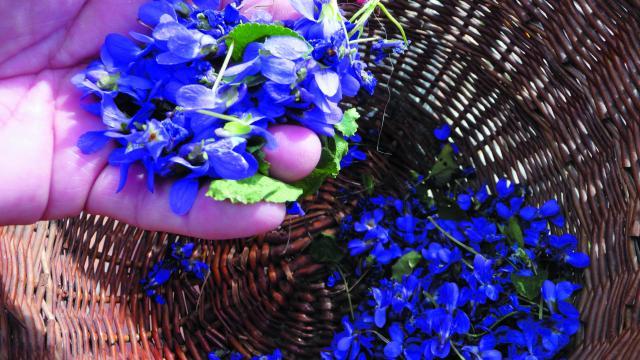 bagnoles-orne-sortie-nature-fleurs-violettes