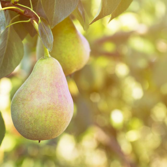 Ripe pear on a tree
