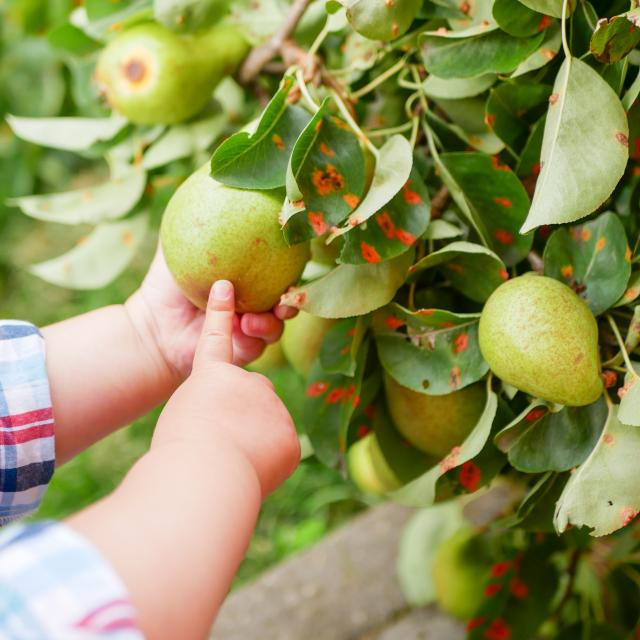 A child with a pear. played with fruit on the grass. Child taking ripe pears at orchard in autumn. Little boy wanting to eat sweet fruit from tree in garden at fall harvest. Infant and baby food concept. Healthy nutrition. Outdoor fun for children