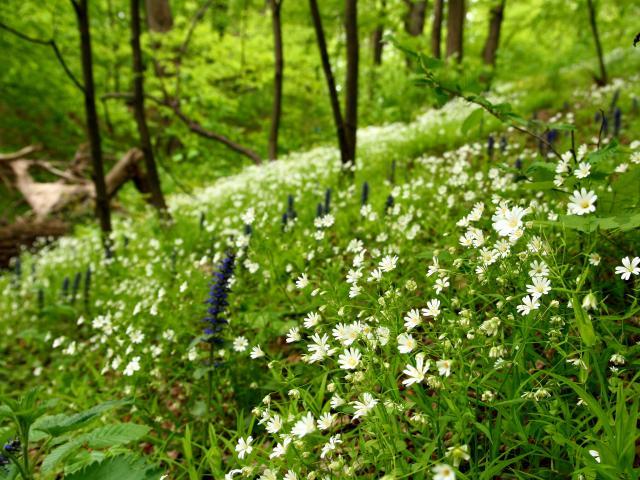 printemps-fleurs-forêt-nature-sauvage-plantes-vert-green-paquerette