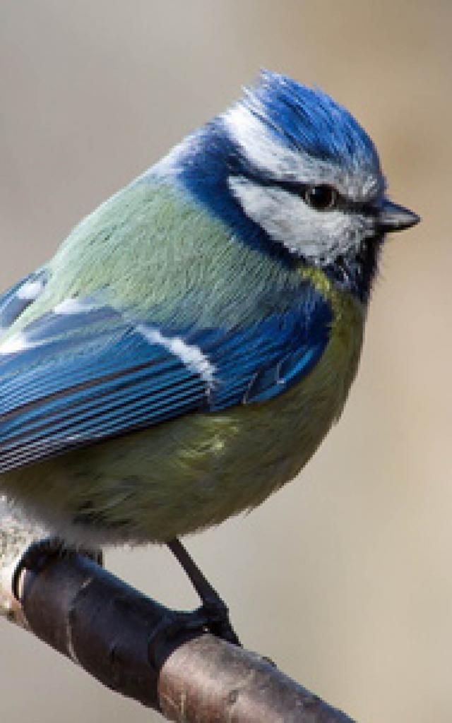 oiseau-bleu-nature-bird-blue-wild-animal-forêt-faune