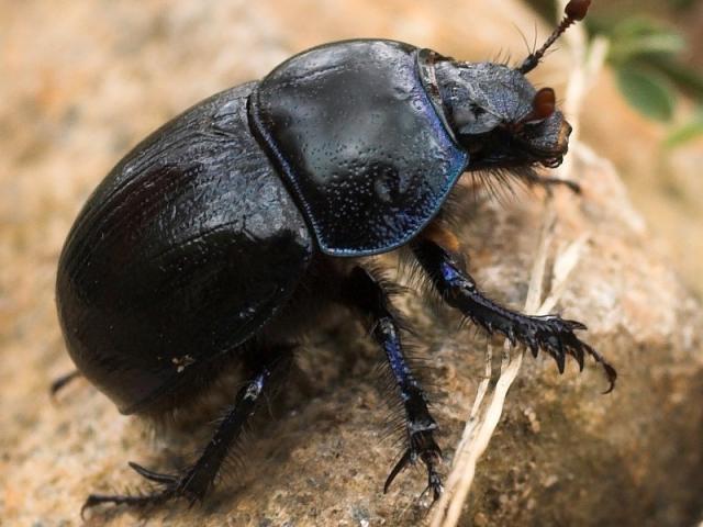 scarabee-insecte-nature-noir-bestiole