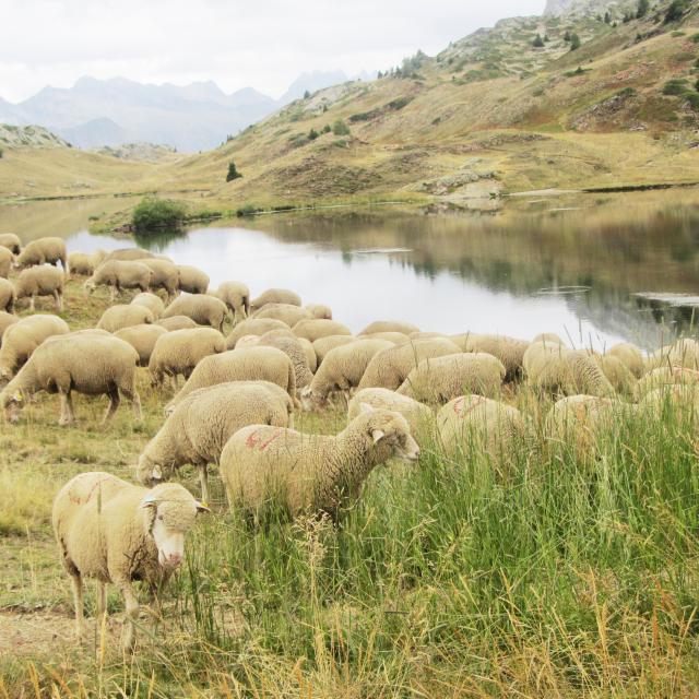 Moutons Plateau Des Lacs