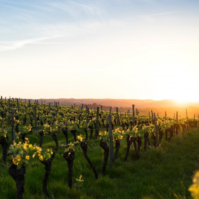 Vignes Occitanie