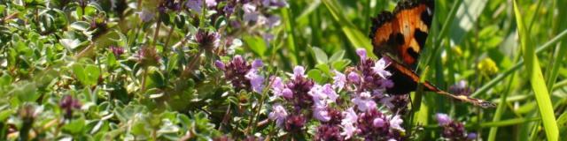 Papillon se posant sur des fleurs violettes