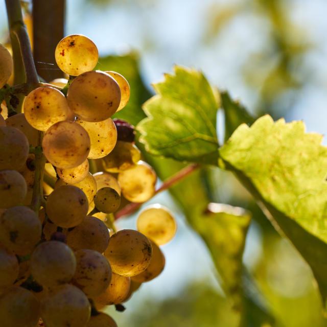 Grappe de raisin blanc dans le Jurançon