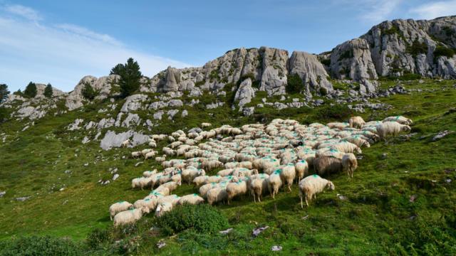 Rebaño de ovejas en La Pierre Saint-Martin