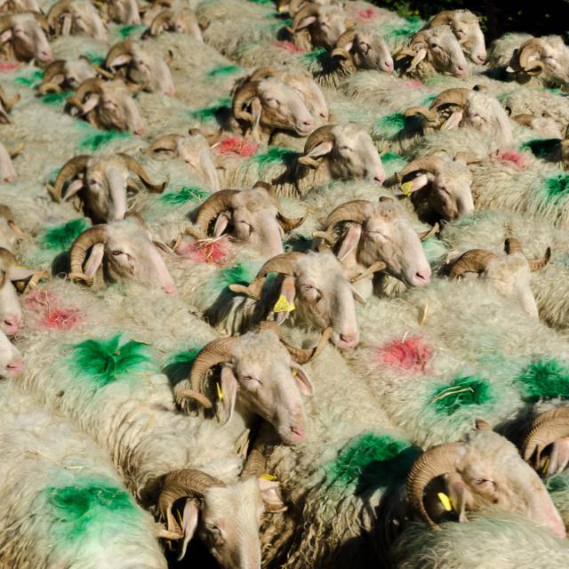Un troupeau de moutons à la Fête des Bergers d'Aramits