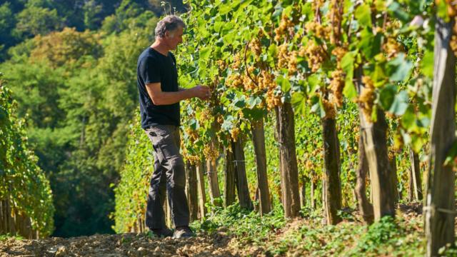 Viticultor en un viñedo