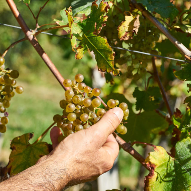 Une main attrape une grappe de raisins