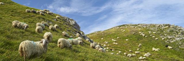 Troupeau de mouton dispersé en montagne à Lees-Athas