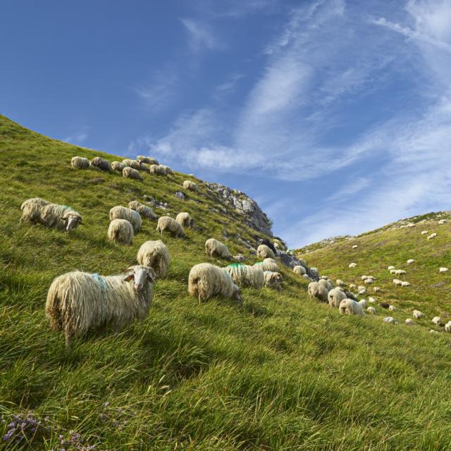 Ovejas en la montaña en Lees-Athas