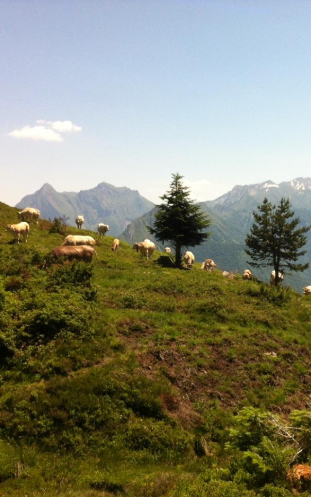 Troupeau de vaches et panorama sapins