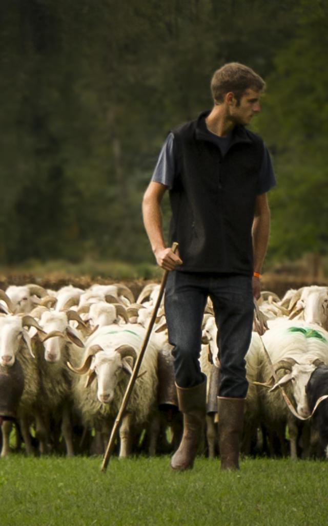 Un berger dirige son troupeau de brebis