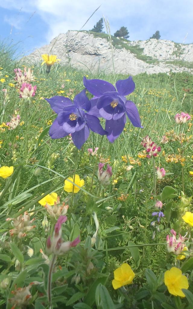 Floraison estivale sur le karst installé sur les roches calcaires datant de 100 Ma (vallée d'Aspe - Pyrénées béarnaises)