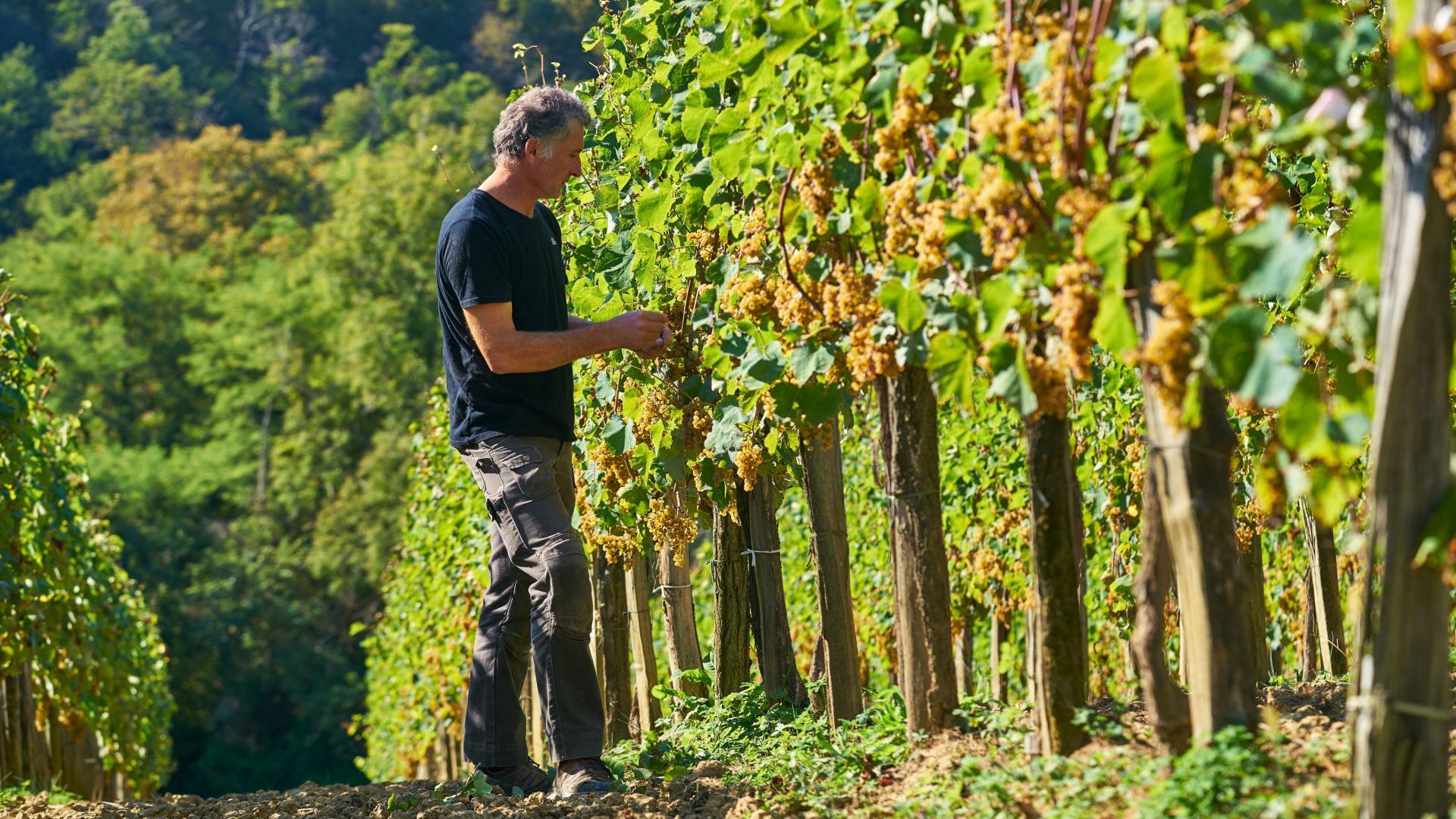 Vendanges du Jurançon dans les vignobles des Pyrénées béarnaises