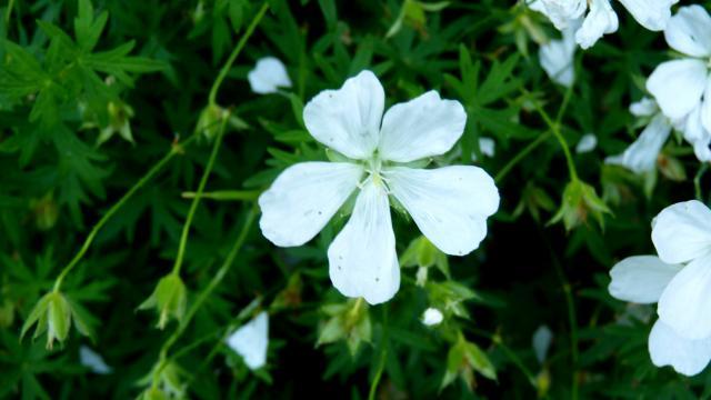 Fleur de printemps à Rodez