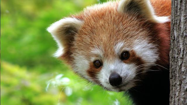 Pandas Roux Diapo Accueil