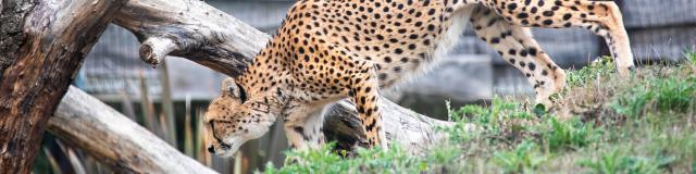 Guépard du Soudan au parc animalier Biotropica en Seine-Eure, Normandie