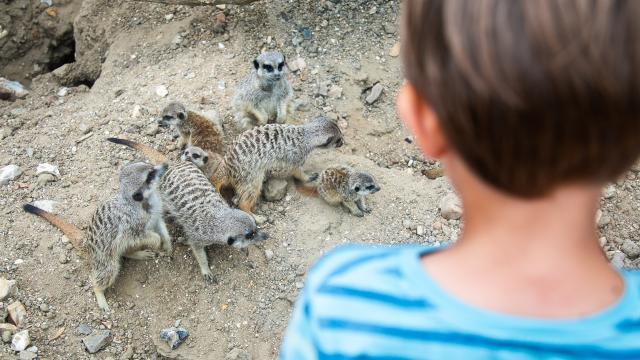 Les suricates de Biotropica dans la partie africaine du parc animalier