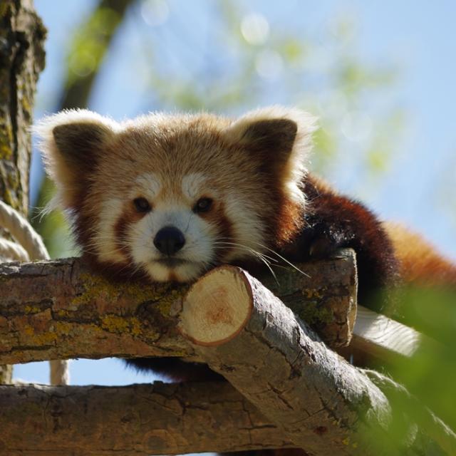 Panda Roux à Biotropica