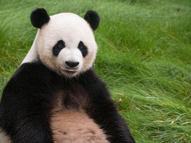 Panda ZooParc de Beauval