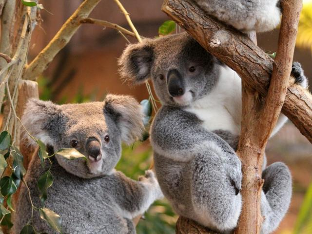Koalas ZooParc de Beauval