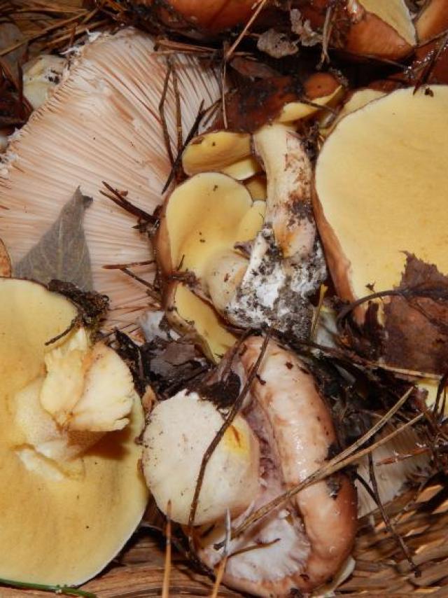 Champignons Cueillette Foret