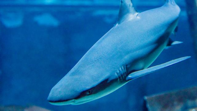 Grand Aquarium de Touraine - Requin Pointe Noire