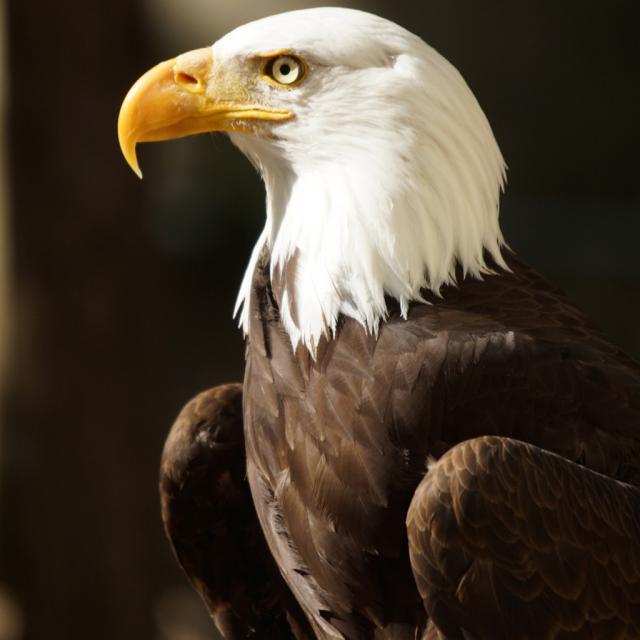Les Maîtres des Airs, spectacle au ZooParc de Beauval, aigles