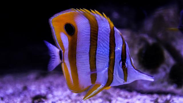 Grand Aquarium de Touraine - Chelmon Ros