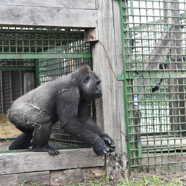 Zoo Beauval Reintroduction Des Femelles Gorilles 2019 Kuimba