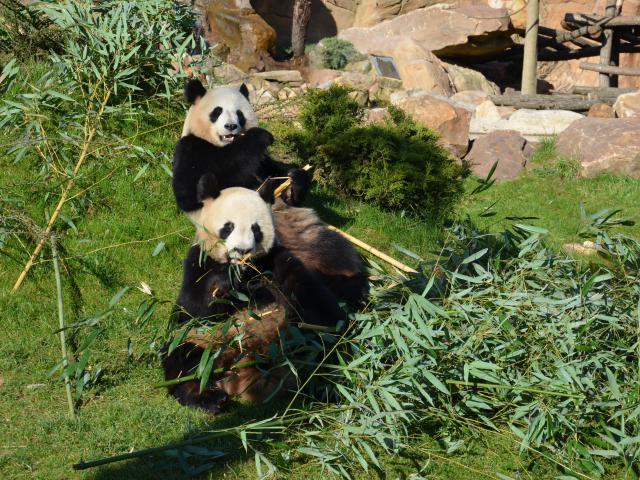 Experience Beauval Zoo Panda