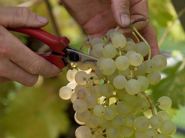 Spécialité raisin chasselas AOP Moissac