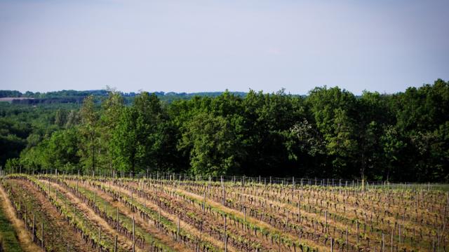 Vignes Vignobles Romain