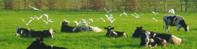 Vaches Ferme Du Ramier