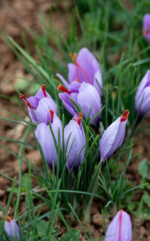 Fleurs De Safran Pierre Soissons