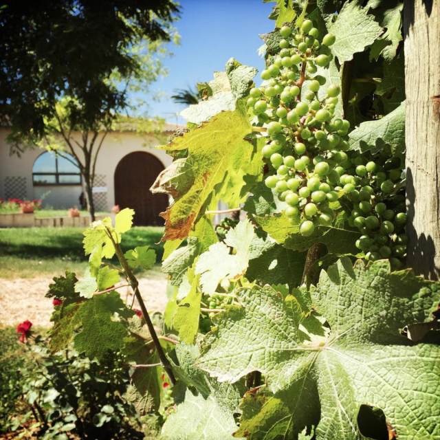 Vignes Chateau Coutinel