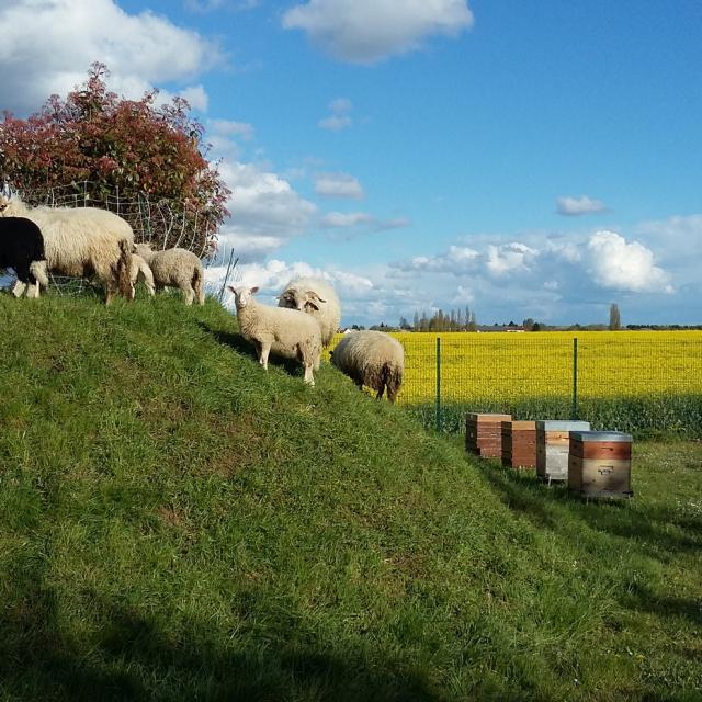 Ferme des 100 terres - moutons, ruches