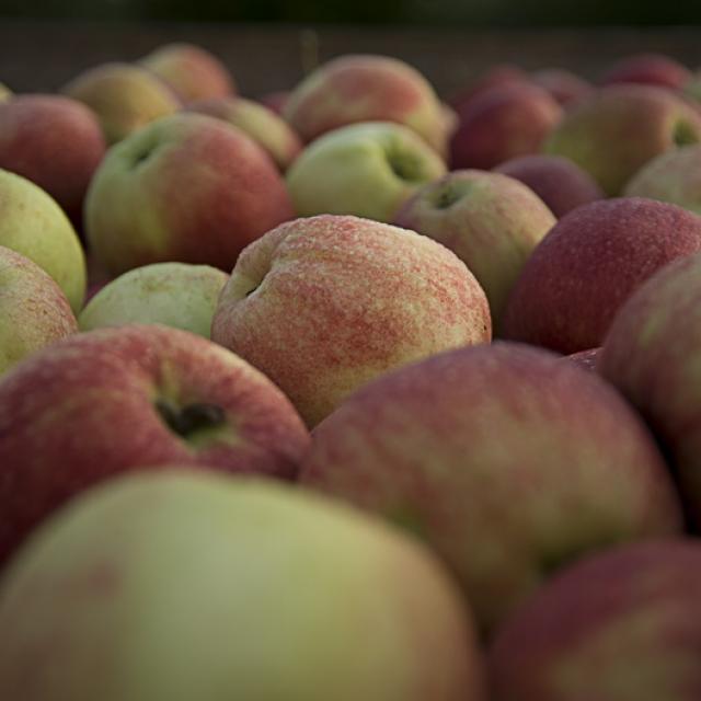 Ferme de Viltain - récolte de pommes