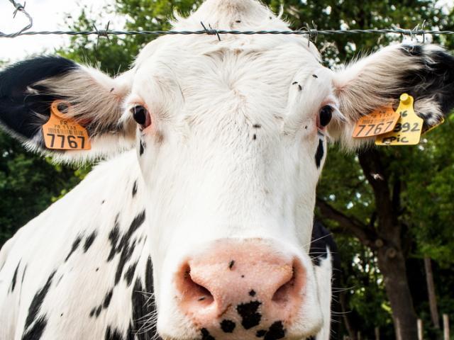 Ferme de Viltain - Vaches
