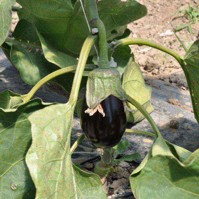 Ferme Trubuil - aubergine