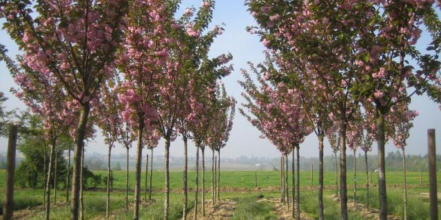 Pépinières Allavoine - arbres en fleur