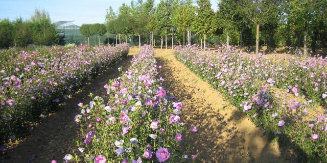 Pépinières Allavoine - hibiscus syriacus