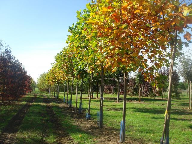 Pépinières Allavoine - rangée d'arbres