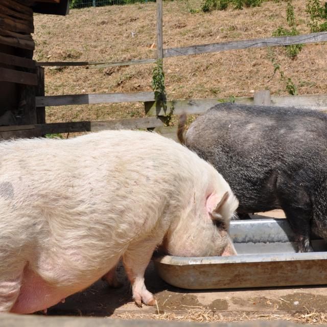 Ferme pédagogique de Bel Air - cochons