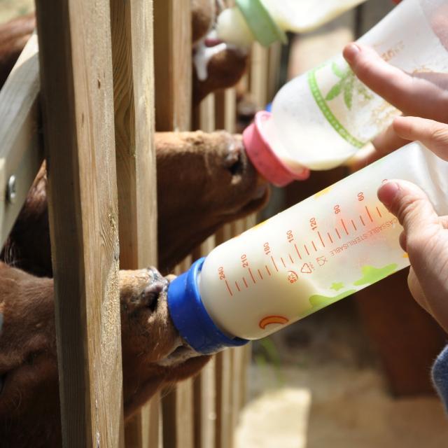 Ferme pédagogique de Bel Air - allaitement des agneaux
