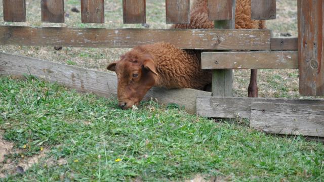 Ferme pédagogique de Bel Air - mouton